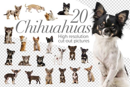 20-Chihuahuas.jpg