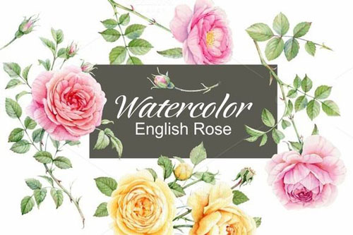 watercolor-english-rose-jpg.774